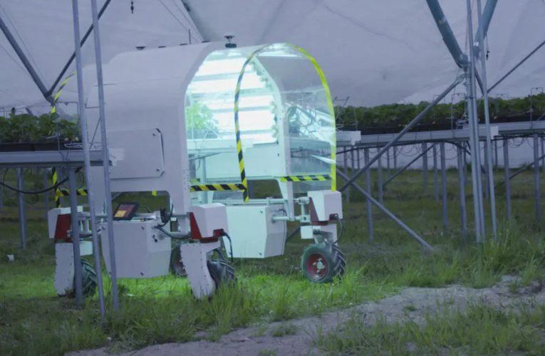 Norske jordbær blir snart plukket av robothender