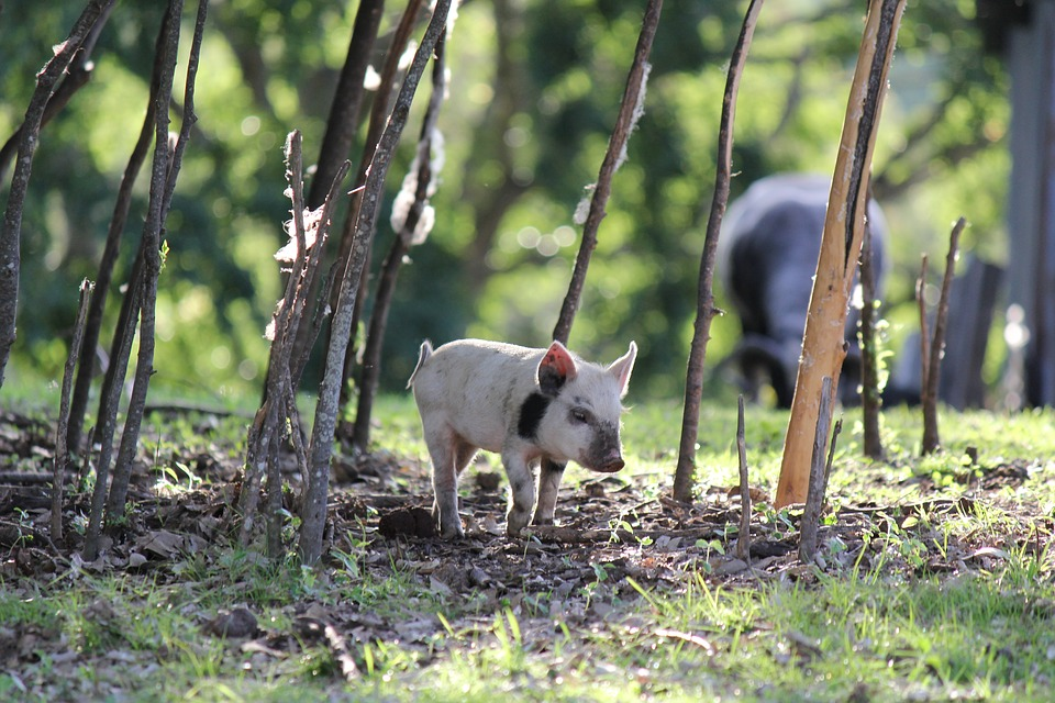 Ukens lederkommentar: Kunsten å gjete svin og sette pris på sine barn